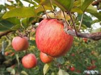 りんご収穫1.JPG